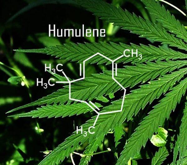 Χουμουλένιο (Humulene) 10ml - Terpenes UK